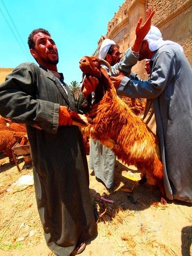 Stock Photo: 1566-720246 Animal´s section, Suk guma Friday´s market, Cairo, Egypt