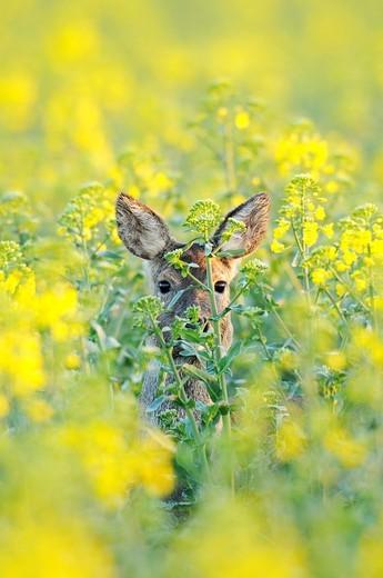 Stock Photo: 1566-720533 Roe deer in rape field, Capreolus capreolus, Hesse, Germany, Europe