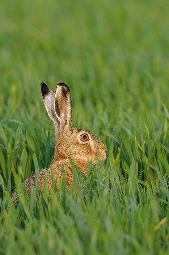 Stock Photo: 1566-720607 European brown hare in spring, Lepus europaeus, Hesse, Germany, Europe