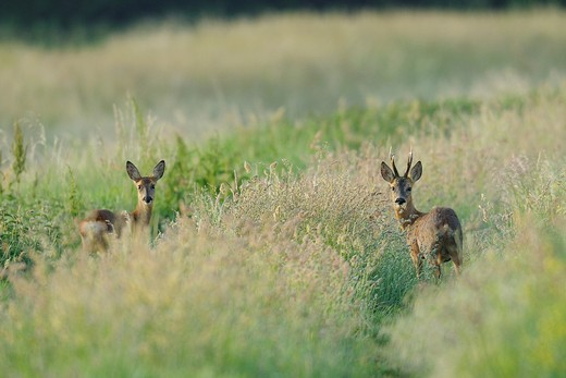 Roe buck an roe deer in spring, Capreolus capreolus, Hesse, Germany, Europe : Stock Photo