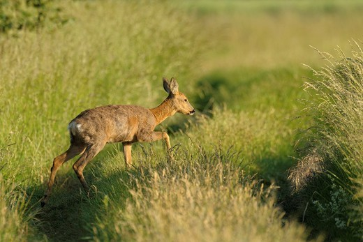 Roe deer in spring, Capreolus capreolus, Hesse, Germany, Europe : Stock Photo