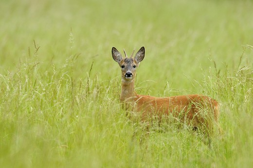 Roe buck in spring, Capreolus capreolus, Hesse, Germany, Europe : Stock Photo
