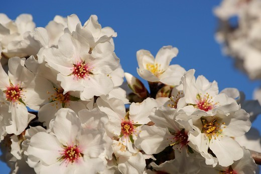 Almond blossom, Cami de S´Aguila llucmajor, Mallorca Balearic Islands, Spain : Stock Photo