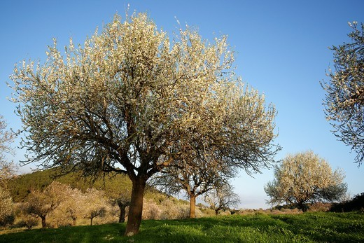 Almond blossom, Albenya, Randa, Algaida, Mallorca Balearic Islands, Spain : Stock Photo