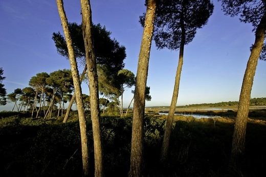 Aleppo pine trim Salinas Migjorn Mallorca Balearic Islands Spain : Stock Photo