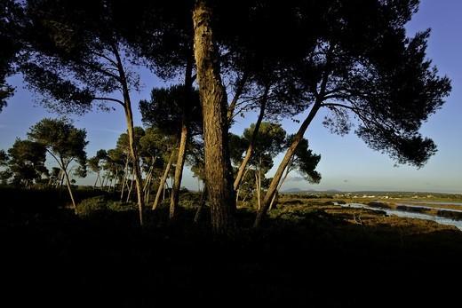 Aleppo pine trim Salinas Migjorn Mallorca Balearic Islands Spain : Stock Photo