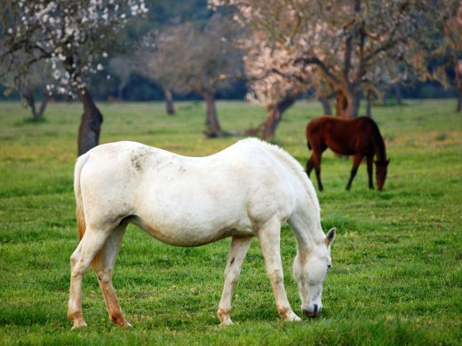 Mares in a pasture Cami de Cala Pi Mallorca Baleares Spain : Stock Photo