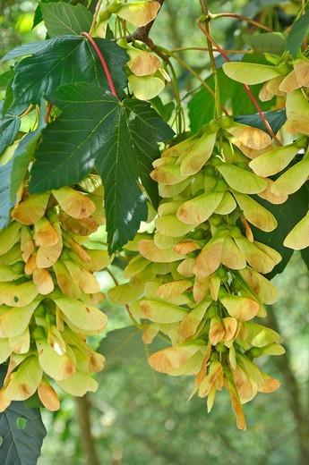 Stock Photo: 1566-722067 Hojas y frutos de Acer pseudoplatanus