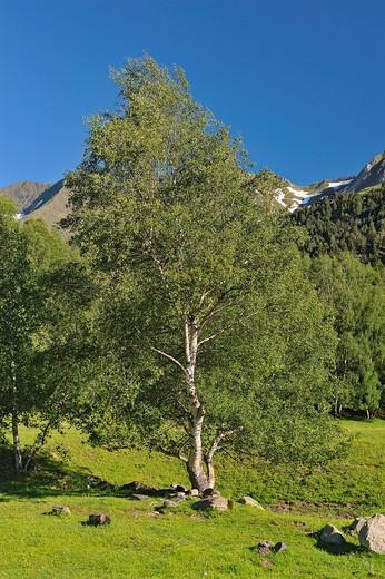 Birch, Belvis de Monroy, Caceres province, Extremadura, Spain : Stock Photo