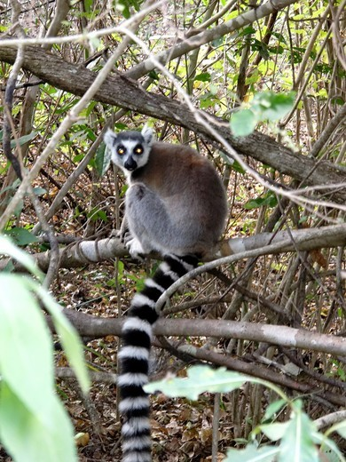 Stock Photo: 1566-722999 The ring-tailed lemur Lemur catta is one of 101 recognized species and subspecies of lemur found only in Madagascar  Isalo National Park is a National Park known for its wide variety of terrain, including sandstone formations, deep canyons, palm-lined oas. The ring-tailed lemur Lemur catta is one of 101 recognized species and subspecies of lemur found only in Madagascar  Isalo National Park is a National Park known for its wide variety of terrain, including sandstone formations, deep canyons, pa