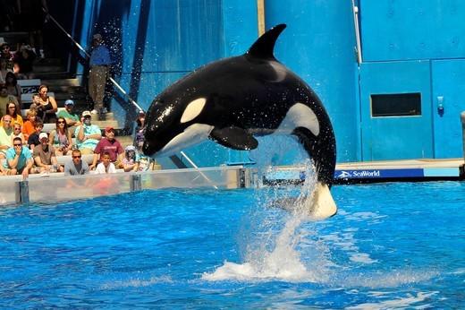 Sea World Adventure Theme Park Orlando Florida Shamu Killer whale : Stock Photo