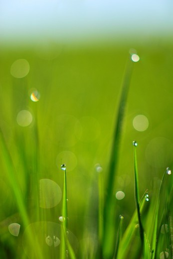 Gras covered in dew drops, Switzerland : Stock Photo