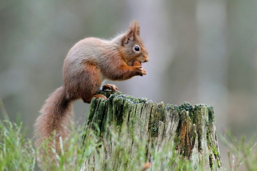 Eurasian Red Squirrel, Sciurus vulgaris, Europaeisches Eichhoernchen, Cairngorms NP, Scotland : Stock Photo