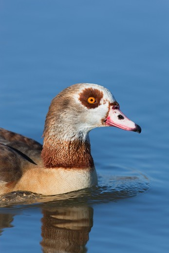 Egyptian Goose Alopochen aegyptiacus : Stock Photo
