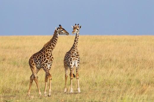 Masai Giraffes Giraffa camelopardalis tippelskirchi, Masai Mara National Reserve, Kenya : Stock Photo