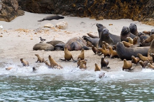 Stock Photo: 1566-726431 California Sea Lions & Elephant Seals on San Miguel Island