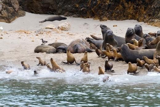 California Sea Lions & Elephant Seals on San Miguel Island : Stock Photo
