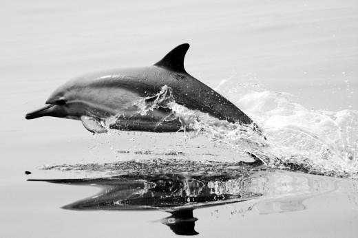 Stock Photo: 1566-726439 Common Dolphins
