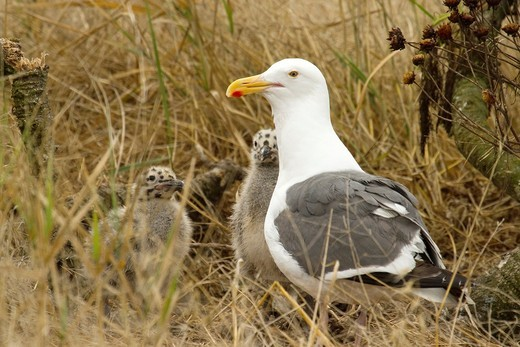 Stock Photo: 1566-726440 Mom and her two baby gull chicks