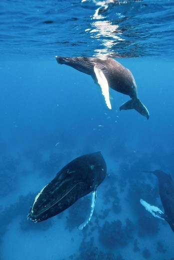 Humpback whale Megaptera novaeangliae, Silver Bank, Dominican Republic, Atlantic Ocean : Stock Photo