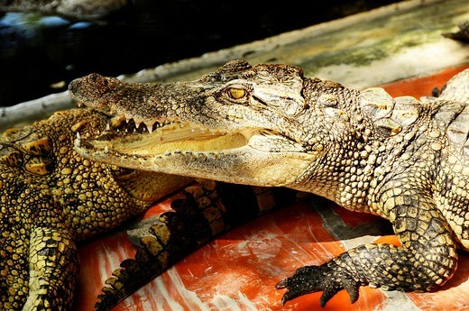 Stock Photo: 1566-730451 Vietnam, Can Tho province, Mekong Delta, Crocodile Farm