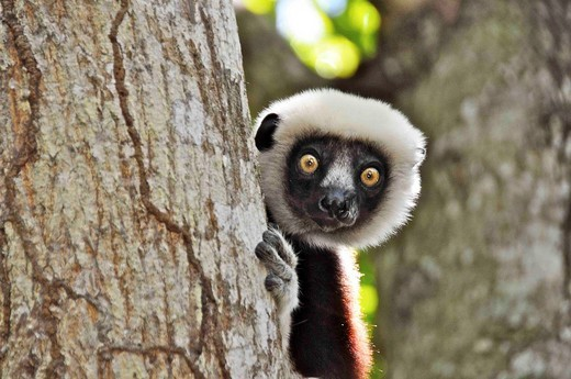 Stock Photo: 1566-731610 Southern Africa, Madagascar, lemurs, Verreaux´s sifaka