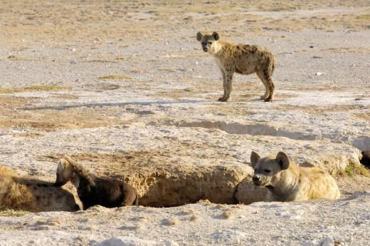 Africa, Kenia, Amboseli National Park : Stock Photo