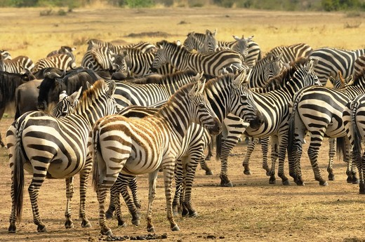 Stock Photo: 1566-732022 Burchell&39, s zebra, equus burchelli, photographed in the Masai Mara Reserve, Kenya.