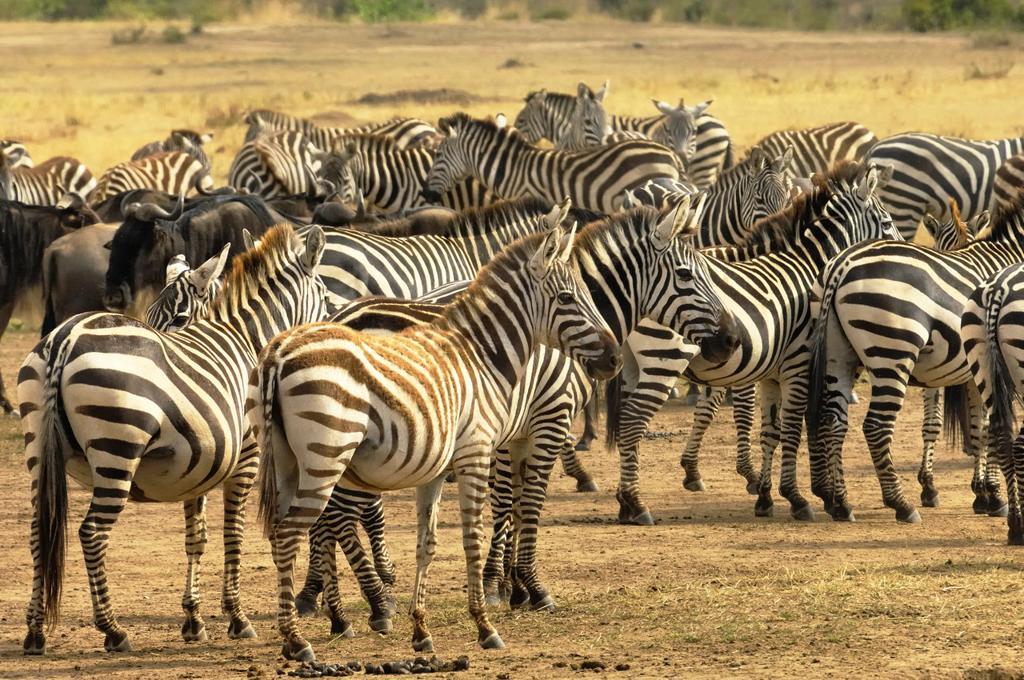 Burchell&39, s zebra, equus burchelli, photographed in the Masai Mara Reserve, Kenya. : Stock Photo