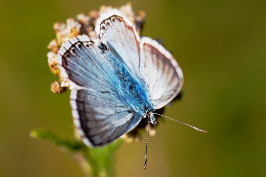 Chalk Hill Blue Butterfly (Lysandra coridon) male on yarrow plant (Achillea millefolium) - Bavaria/Germany : Stock Photo