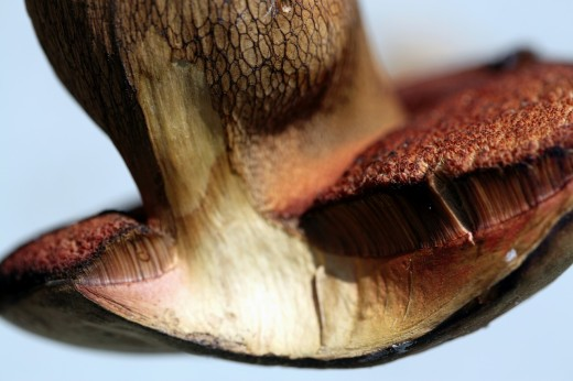 Sectional view of boletus : Stock Photo