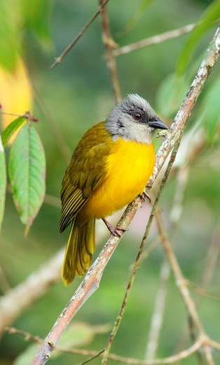 Stock Photo: 1566-732163 Gray-Headed Tanager, Eucometis penicillata, Bachaquero  Bejuma, Carabobo, Venezuela