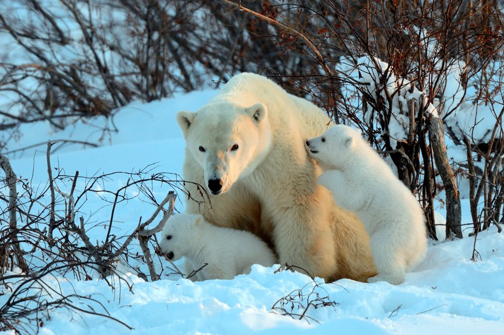 Stock Photo: 1566-735133 Polar bear mother Ursus maritimus with two 3 months old cubs playing  Coming out of the den in March  Wapusk National Park, Manitoba, Canada