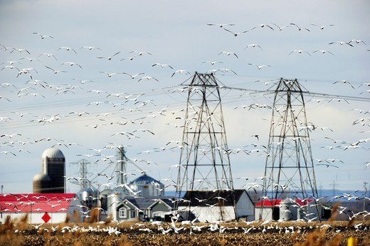 Large flock of snow goose in flight Chen Caerulescens around electric pylon  Quebec, Canada : Stock Photo