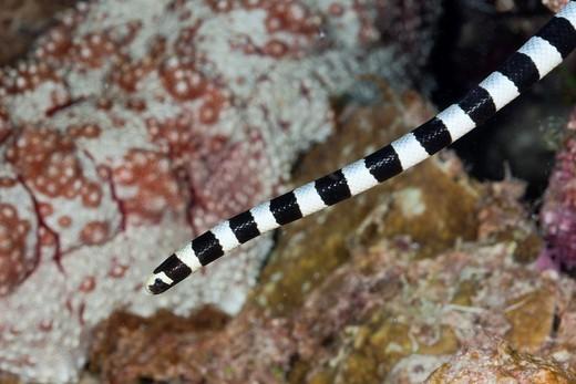 Banded Yellow-lip Sea Krait, Laticauda colobrina, Gau, Lomaiviti, Fiji : Stock Photo