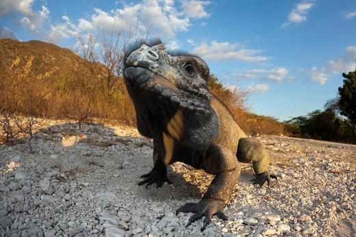 Rhinoceros Iguana, Cyclura cornuta, Isla Cabritos National Park, Lago Enriquillo, Dominican Republic : Stock Photo