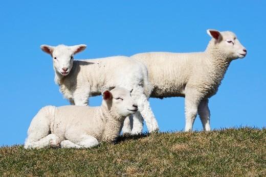 Stock Photo: 1566-735674 Lambs  Domestic Sheep , Ovis aries, Schleswig-Holstein  Germany