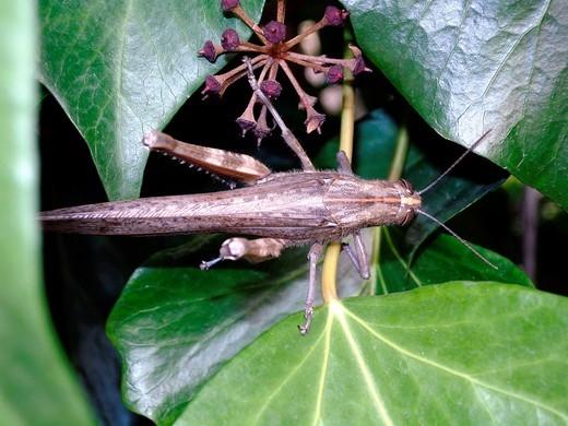 Stock Photo: 1566-735942 Locust Acrididae