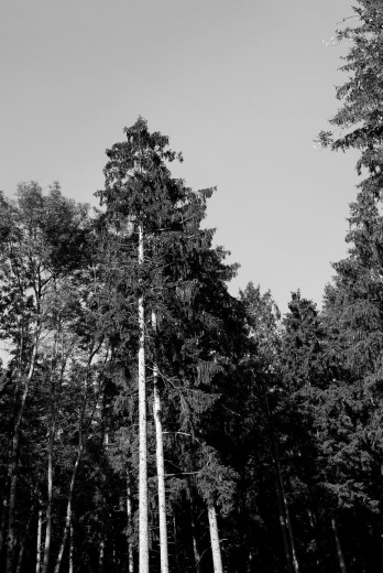 Stock Photo: 1566-737012 Spruce forest