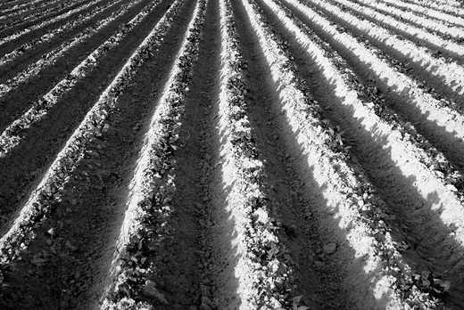 Stock Photo: 1566-737020 Growing series in a potato field