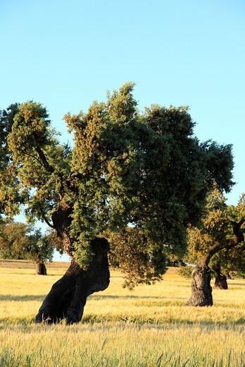 Pasture. Monfrague Natural Park. Caceres province. Extremadura. Spain : Stock Photo