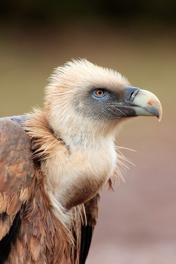 Griffon vultures feeding on a sheep : Stock Photo