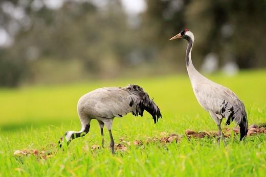 Common crane Grus grus : Stock Photo