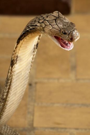 King Cobra, the world´s longest venomous snake, Ophiophagus hannah : Stock Photo