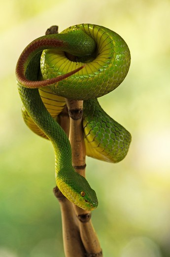 Stock Photo: 1566-738760 white lipped green pit viper, highly venomous snake, Trimeresurus albolabris
