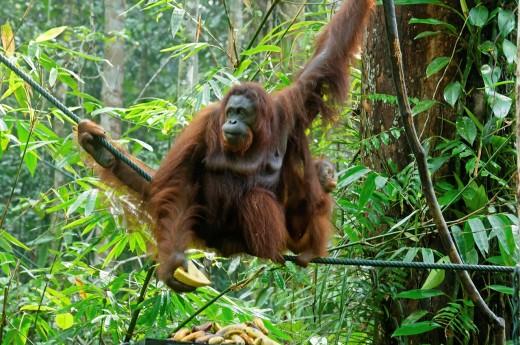 juvenile and mother orangutan Pongo pygmaeus/Pongo abelii in Sarawak, Borneo, Malaysia : Stock Photo