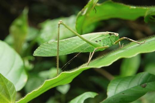 grasshopper in Mulu National Park, Sarawak, Borneo, Malaysia : Stock Photo