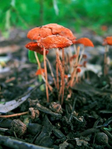 Stock Photo: 1566-739285 orange bonnet fungi, Mycena acicula