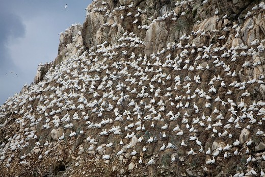 Colony of gannet Morus bassanus in Sept-Iles, a Bird Sanctuary located in La Côte de Granit Rose, Perros-Guirec  Côtes-d´Armor department, Brittany region  France : Stock Photo