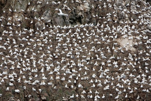 Stock Photo: 1566-741866 Colony of gannet Morus bassanus in Sept-Iles, a Bird Sanctuary located in La Côte de Granit Rose, Perros-Guirec  Côtes-d´Armor department, Brittany region  France